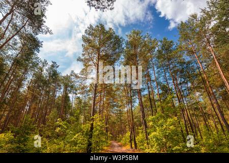 Pinienwald im Juli. Landschaft in Mitteleuropa. Ein Urlaub zu Fuß. Während des Wochenendes. Natürlicher Reichtum. Blauer Himmel mit Wolken. Gasse unter den Bäumen - Stockfoto