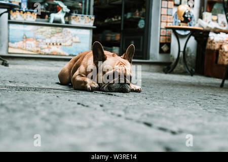 Französische Bulldogge entspannen in der Hitze des Sommers - Stockfoto