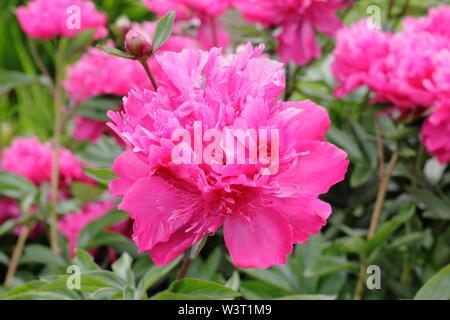 "Paeonia lactiflora 'A.F.W. Hayward"" Pfingstrose Blüte im Sommer - Juni. Großbritannien - Stockfoto"