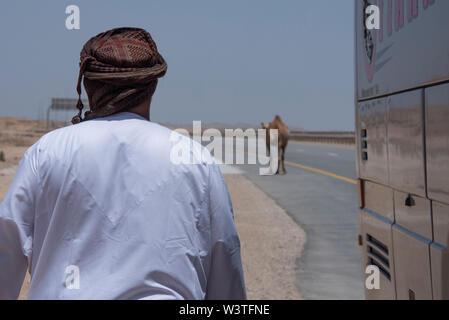 Oman und Dhofar region, Hauptstadt von Salalah. Wild camel entlang der Straße in Salalah. - Stockfoto