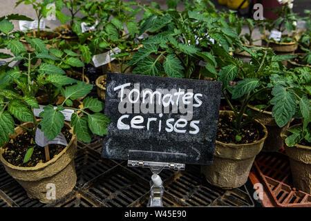Eine Detailansicht eines kleinen französischen Schild, Cherry Tomaten auf einer Landwirtschaftsmesse, jungen Tomatenpflanzen in biologisch abbaubaren Töpfen im Hintergrund zu sehen sind. - Stockfoto