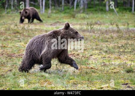Brauner Bär jährling Ertrag nach Bären der Sumpf. - Stockfoto