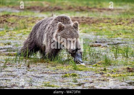 Brauner Bär Jährling ist Highspeed-clients am Sumpf. - Stockfoto