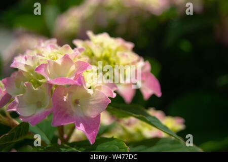 Eine schöne rosa Hortensia headflower in der großmütter Garten auf den Sommer Tag erfasst - Stockfoto