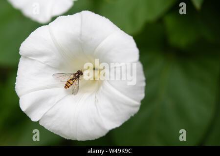 Marmalade Hoverfly (Episyrphus balteatus) auf die weiße Blume. - Stockfoto