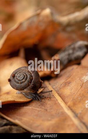 Abgerundet discus Schnecke (Discus rotundatus) über blattsänfte nach Regenfällen