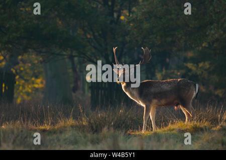 Damwild Hirsch stehend in einem Waldgebiet bei Sonnenaufgang
