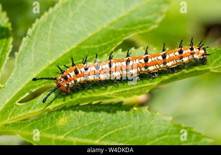 Bunte Fritillaryschmetterling Caterpillar auf einem Blatt der Wirtspflanze, die Leidenschaft Rebe