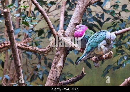 Zwei einzigartige bunte Tauben auf Ästen. - Stockfoto