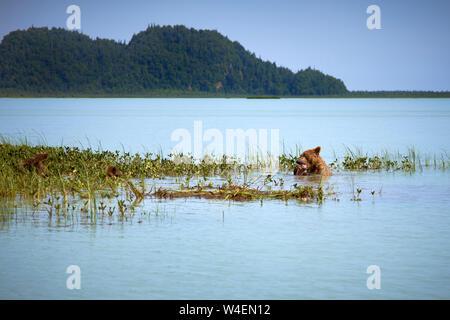 Brown Bear Family Schwimmen und Fischen in Alaska - Stockfoto