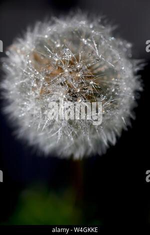 Blowball mit Regentropfen, close-up - Stockfoto