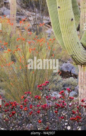 Frühling in der Sonora Wüste. Arizona - Stockfoto