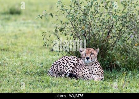 Männliche Geparden Ausruhen im Schatten nach einer grossen Mahlzeit, grumeti Game Reserve, Serengeti, Tansania - Stockfoto