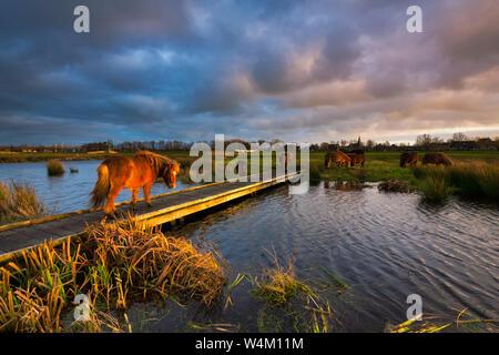 Ein Shetland pony zu Fuß auf einem Steg über einen Fluss in einer schönen natürlichen Landschaft bei Sonnenuntergang mit kräftigen Farben - Friesland, Niederlande - Stockfoto