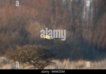 Short Eared Owl, Asio flammeus, im Flug über Shrubland, Sandwich, Kent, UK - Stockfoto