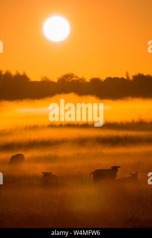 Schafe in einem Feld in einem Herbst Morgen mit Sonnenschein und Nebel - einen wunderschönen Sonnenaufgang in der Landschaft - Die Niederlande - Stockfoto