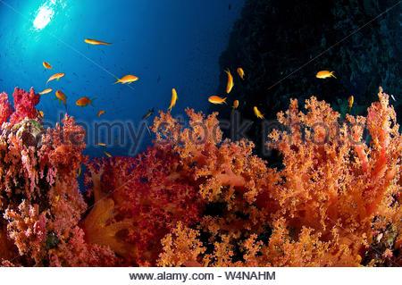 Kolonie, stachelige Weichkoralle Dendronephthya Alcyonarian (spp), Afrika, Rotes Meer, Ägypten, Ras Mohammed - Stockfoto