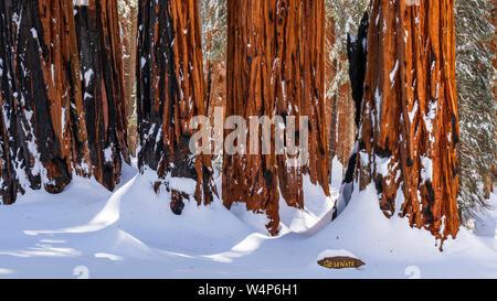Der Senat Gruppe auf dem Kongress Grove im Winter, Giant Forest, Sequoia National Park, Kalifornien, USA