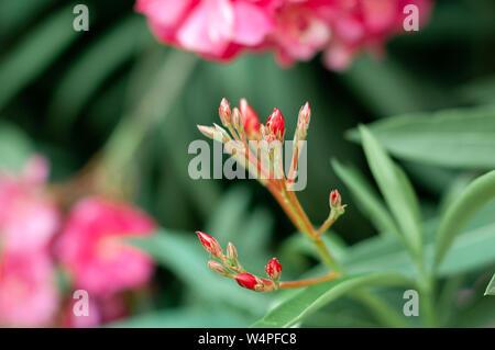 Rosa oleander Knospen. Nerium oleander. Floral background. Selektiver Fokus - Stockfoto