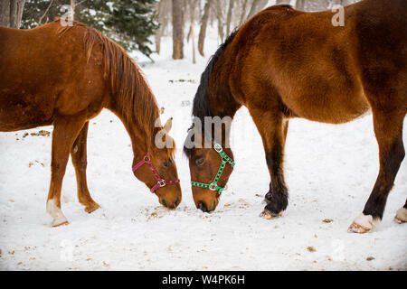 Pferde im Schnee - Stockfoto