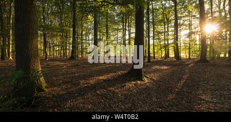Sonne scheint durch die Bäume in einem Wald, Enschede, Overijssel, Twente, Niederlande - Stockfoto