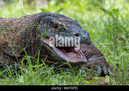 Porträt einer komodo Drache in das Gras, Indonesien