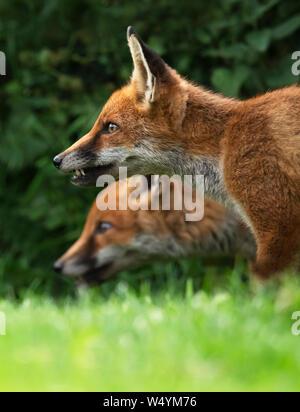 Ein paar wilde Red Fox (Vulpes vulpes), Warwickshire - Stockfoto