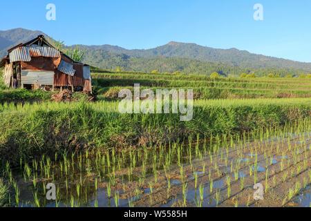 Stabile für Kuh in Reisfeldern. Ein einfacher Schuppen von Wellblech und Holz in terrassierten Feldern mit jungen Reispflänzchen gemacht. Landwirtschaft in Berggebieten - Stockfoto