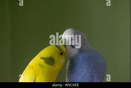 Foto von zwei wellensittiche Papageien küssen einander (Ein Papagei ist Blau und Gelb) an. - Stockfoto