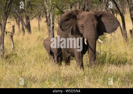 Vorderansicht des Afrikanischen Busches Elefant (Loxodonta africana) in der Serengeti National Park, Tansania fotografiert.
