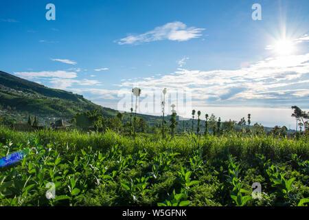 Die malerische Landschaft der Tabakanbau in Indonesien an einem schönen sonnigen Morgen - Stockfoto