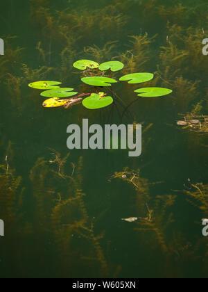 Wasser Pflanzen in einem kleinen Teich wächst, gelbe Wasserlilie (Nuphar lutea, Myriophyllum) - Stockfoto