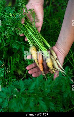 Möhren aus kleinen Bio-Bauernhof. Frau Bauer halten multi Karotten in einem Garten gefärbt. Konzept für Bio Landwirtschaft. - Stockfoto