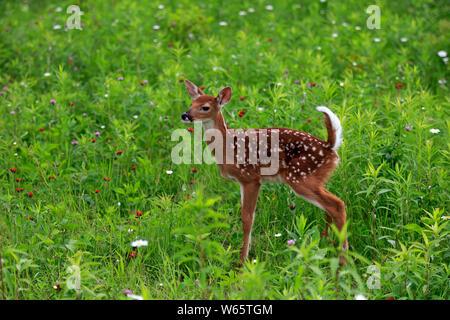 White tailed deer, Jung, zehn Tage, Pine County, Minnesota, USA, Nordamerika, (Odocoileus virginianus) - Stockfoto