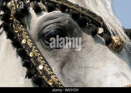 White Arabian Horse Hengst, mit traditionellen dekoriert Zaum - Stockfoto