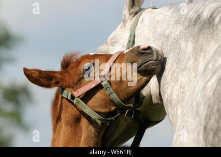 Arabian Horse, kastanie Fohlen Kuscheln mit seiner Mutter - Stockfoto