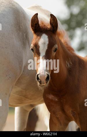 Arabian Horse, kastanie Fohlen neben seiner Mutter auf der Weide - Stockfoto