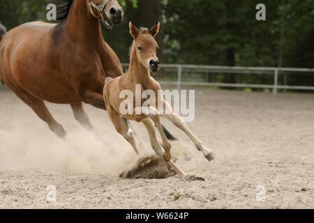 Arabische Pferd, Stute mit Fohlen im Paddock galoppieren. - Stockfoto
