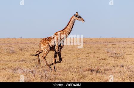 Einem galoppierenden Giraffe Giraffa Camelopardalis - - auf den Ebenen der Etosha Nationalpark, Namibia. - Stockfoto
