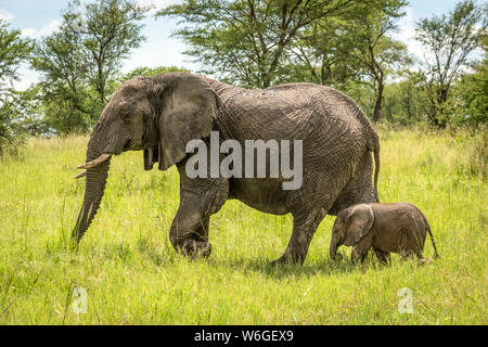 Afrikanischer Elefant (Loxodonta africana) und Kalbswanderung durch Lichtung, Serengeti Nationalpark; Tansania