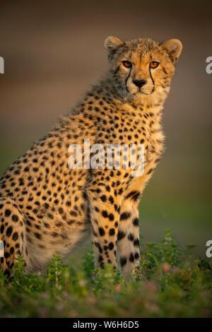 Nahaufnahme des Geparden-Jungen (Acinonyx jubatus) mit Catchlight, Serengeti National Park; Tansania