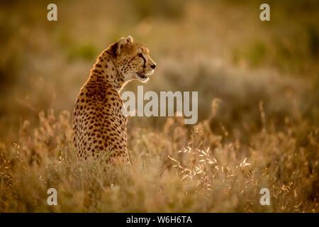 Weiblichen Geparden (Acinonyx jubatu) sitzt im Gras nach rechts, Serengeti National Park, Tansania