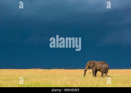 Afrikanischen Busch Elefant (Loxodonta africana) im Gras unter dunklen Wolken steht, Serengeti National Park, Tansania