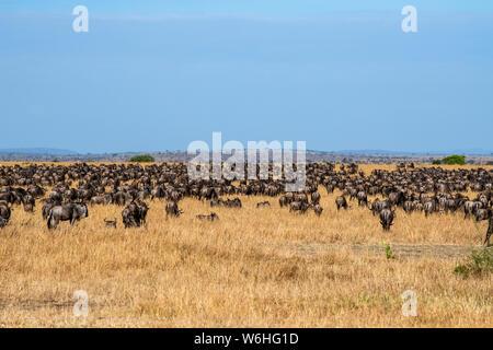 Dichten Herde von Gnus (connochaetes Taurinus) in der Trockenrasen der Serengeti Serengeti National Park, Tansania - Stockfoto