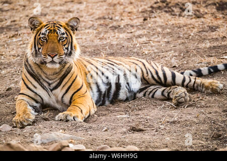 Bengal Tiger (Panthera tigris tigris), Ranthambore Nationalpark, Rajasthan, Indien - Stockfoto