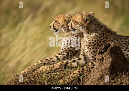 In der Nähe von jungen Geparden (Acinonyx jubatus) auf termitenhügel Damm, Serengeti, Tansania - Stockfoto