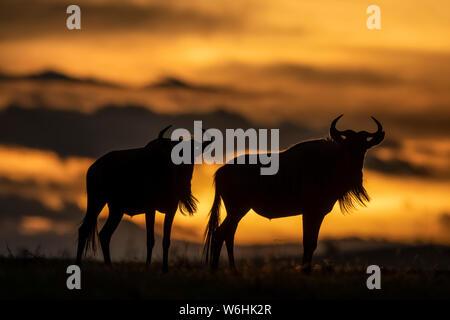 Zwei Streifengnu (connochaetes Taurinus) stand bei Sonnenuntergang, Serengeti Silhouette; Tansania - Stockfoto