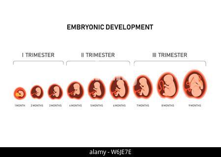 Schwangerschaft fetale Fötus Entwicklung. Embryonale Monat Stufe Wachstum von Monat zu Monat Zyklus von 1 bis 9 Monaten nach der Geburt. Medizinische Infografik Elemente - Stockfoto