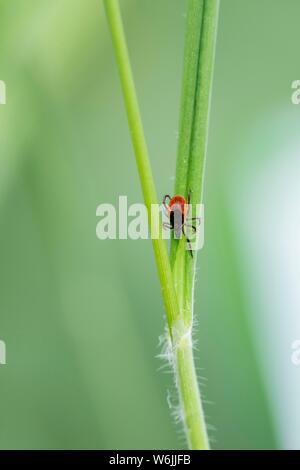 Weibliche Zecke, Castor Bean Zecke (Ixodes ricinus) lauert auf einem Grashalm, Bayern, Deutschland - Stockfoto