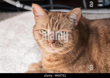 Nahaufnahme von Mischlingen orange Tabby mit grünen Augen in die Kamera schaut. - Stockfoto